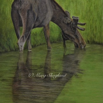 Moose Family at the Pond