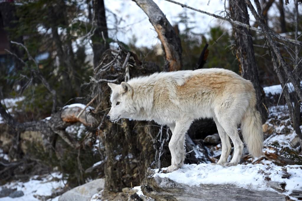 Grey Wolf - Golden BC